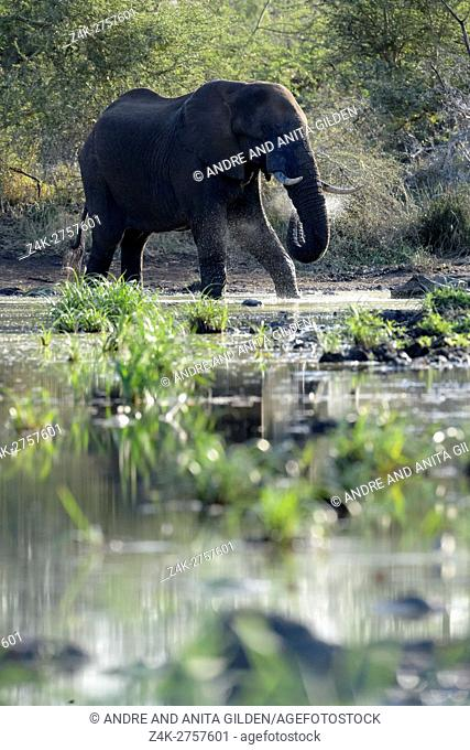 African Elephant (Loxodonta africana) drinking water, backlit, Kruger National Park, South Africa