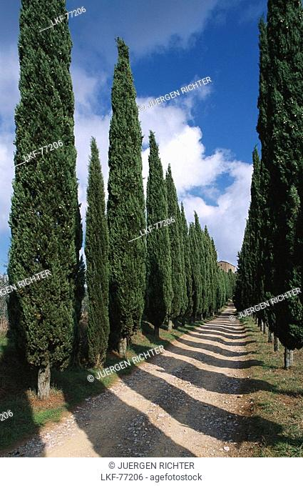 Cypress avenue near radda in Chianti, Chianti, Tuscany, Italy