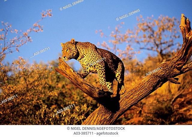 Leopard (Panthera pardus). Okonjima, Namibia