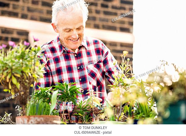 Senior man tending potted plants on city rooftop garden