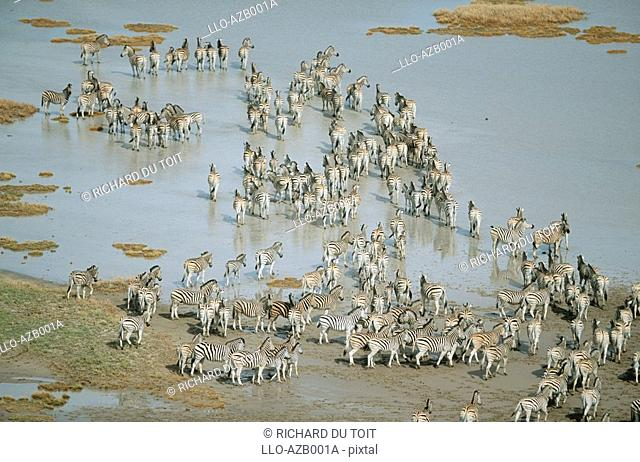 Burchell's Zebra Equus burchellii Herd at a Pan - Aerial View  Makgadikgadi Pans, Botswana