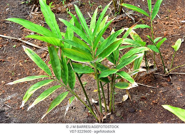 Ginger (Zingiber officinale) is a perennial herb with edible and medicinal rhizome. Is native to southern Asia. This photo was taken in Phuket Island, Thailand