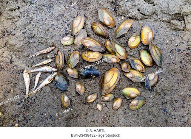 Common pond mussel, duck mussel (Anodonta anatina), on dried creek shore, Germany, Bavaria, Kleine Vils
