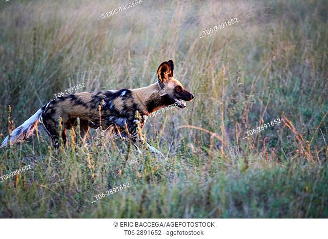 African wild dog (Lycaon pictus) hunting. Moremi National Park, Okavango delta, Botswana, Southern Africa