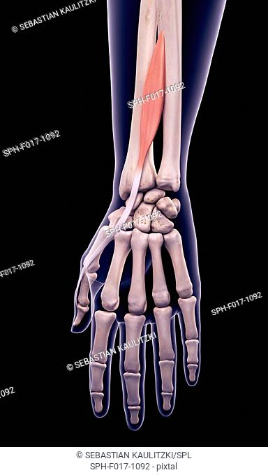 Illustration of the extensor pollicis longus muscle