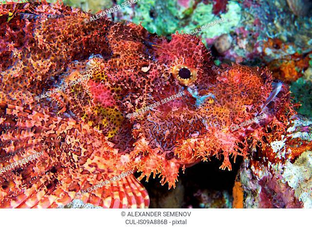Bearded scorpionfish (Scorpaenopsis barbata)