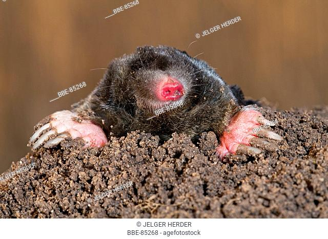 Photo of a common mole on top of a mole hill with reed in the background