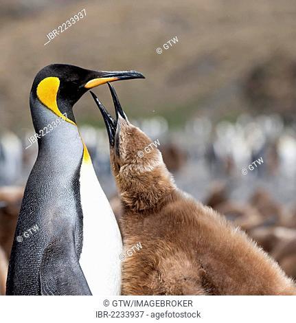 King penguin (Aptenodytes patagonicus) feeding a chick, Fortuna Bay, South Georgia Island