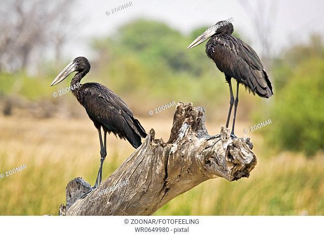 Afrikanischer Klaffschnabel Klaftschnabel, Mohrenklaffschnabel Anastomus lamelligerus, Moremi National Park, Moremi Wildlife Reserve, Okavango Delta, Botswana