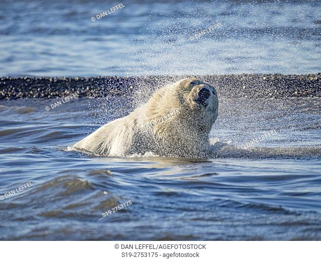 Alaska Arctic Polar Bears Swimming