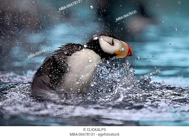 A puffin splashes into the water in the Kenai Fjords National park, Seward
