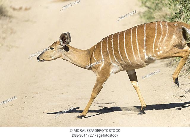 Africa, Southern Africa, South African Republic, Mala Mala game reserve, Bushbuck (Tragelaphus scriptus), female