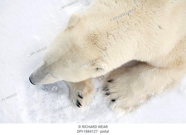 a view of a polar bear ursus maritimus from above showing a closeup of it's head and shoulders, churchill, manitoba, canada