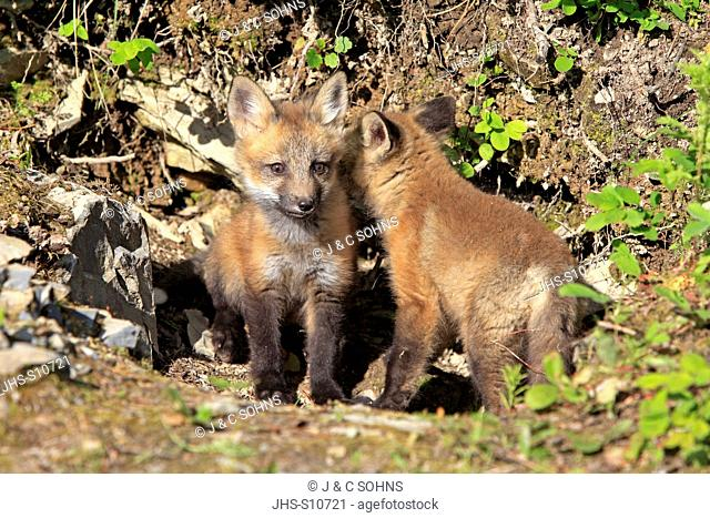 American Red Fox, Vulpes vulpes, Montana, USA, North America, young siblings ten weeks old at den