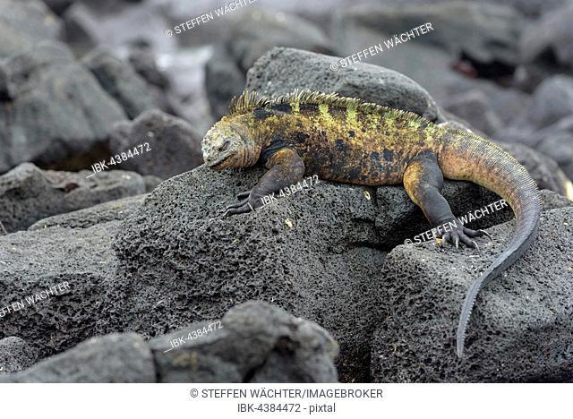 Galápagos marine iguana (Amblyrhynchus cristatus) lying on lava rock, Isabela Island, Galápagos, Ecuador
