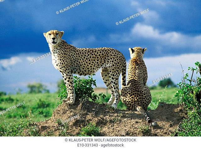 Two cheetahs looking out (Acinonyx jubatus). Masai Mara. Kenya