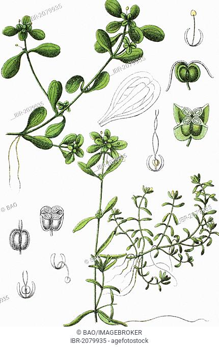 Pond Water Starwort (Callitriche stagnalis), left, and Water Starwort hybrids (Callitriche x minima), right, medicinal and useful plant, chromolithograph, 1881