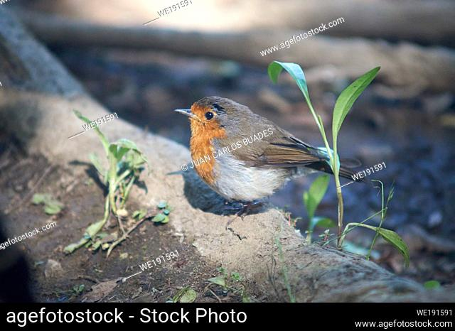 Little Robin in the nature