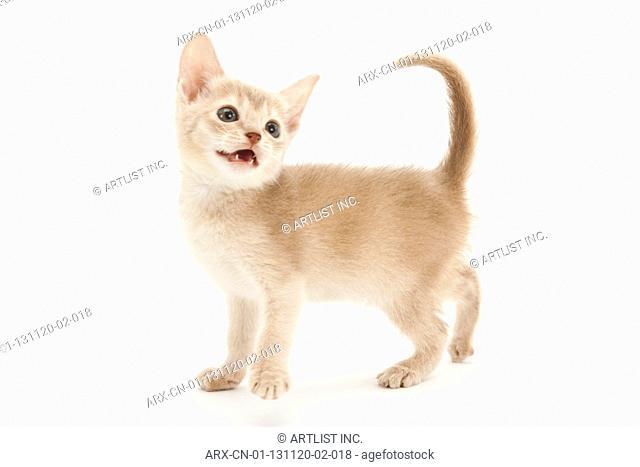 A mewing kitten