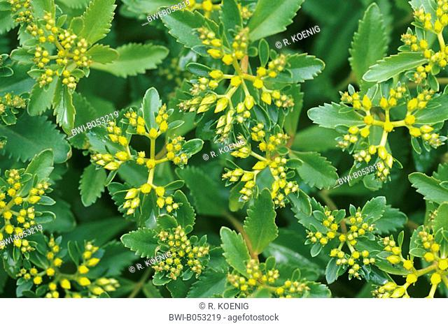 reflexed stonecrop, stone orpine, crooked yellow stonecrop, Jenny's stonecrop (Sedum rupestre, Sedum reflexum), blooming
