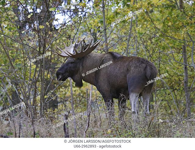 Moose bull, Gnesta, Sodermanland, Sweden