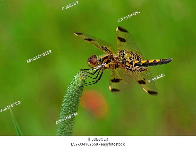 A beautiful female Calico Pennant dragonfly perches on a grass seedhead while watching for small insects to fly by