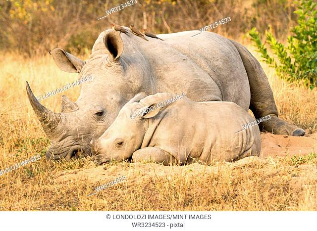 A rhino mother and calf, Ceratotherium simum, lie side by side, red-billed oxpeckers, Buphagus erythrorhynchus, perch on the rhino