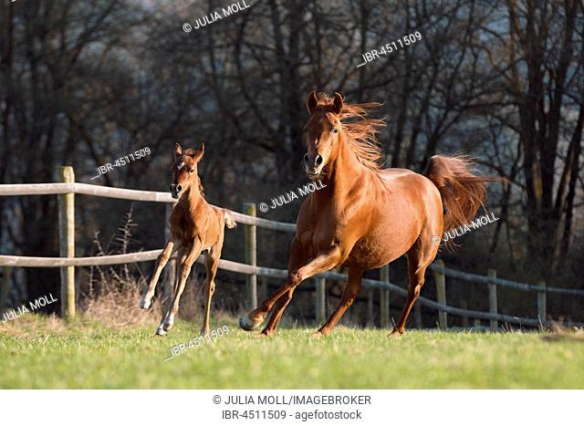 Brown Arabian mare with foal
