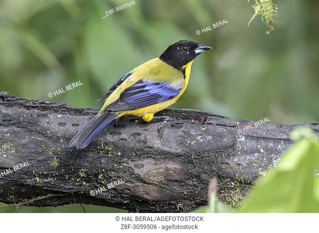 Blue-Winged Mountain-Tanager (Antisognathus somptuosos). Ecuador