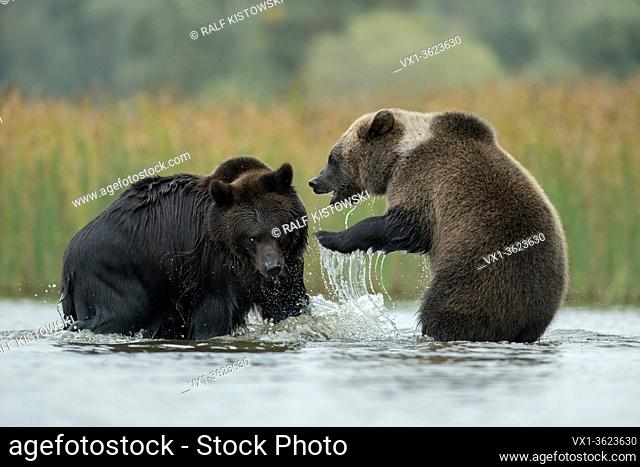 Eurasian Brown Bears / Europaeische Braunbaeren ( Ursus arctos ) fighting, struggling, playful fight in the shallow water of a lake, Europe