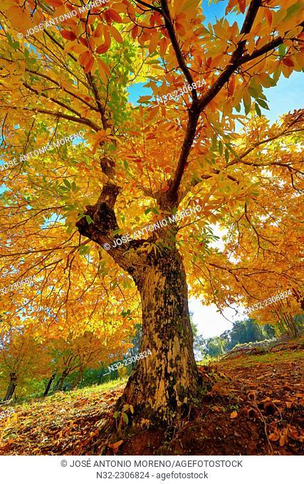 Chesnut forest Castanea sativa, Valle del Genal, Autumn, Genal Valley, Genal river valley, Serranía de Ronda, Málaga province, Andalusia. Spain