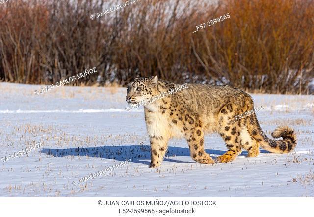 Snow leopard (Panthera uncia). Colorado, Usa