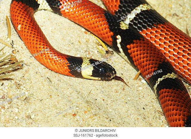 Sinaloan milk snake / Lampropeltis triangulum sinaloae