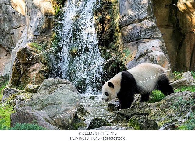 Giant panda (Ailuropoda melanoleuca) standing in front of waterfall, ZooParc de Beauval, France