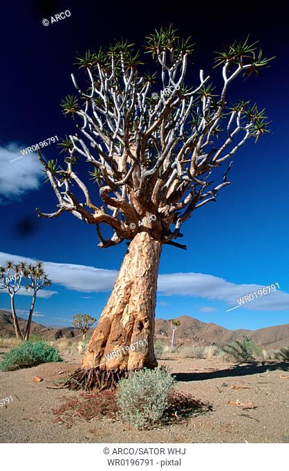 Quiver, Tree, Richtersveld, Park, South, Africa, Aloe, dichotoma