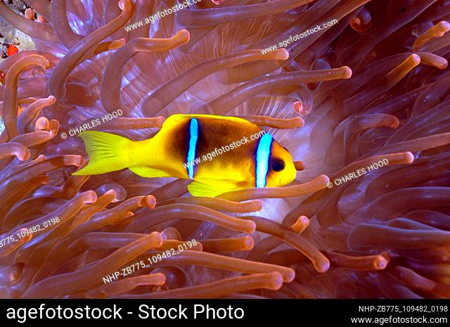 Clownfish in red anemone Date: 07/11/2003  Ref: ZB775-109482-0198  COMPULSORY CREDIT: Oceans Image/Photoshot