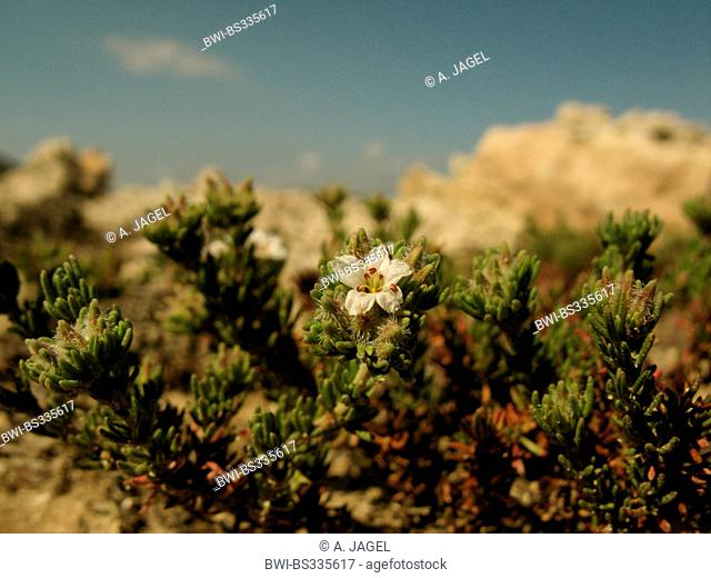 Sea Heath (Frankenia hirsuta), blooming at the coast, halophyte, Greece, Peloponnese