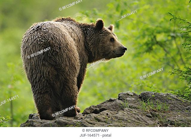 Brown bear - standing / Ursus arctos