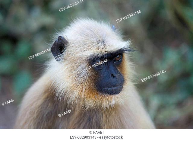 Portrait of a gray langur, typical indian monkey
