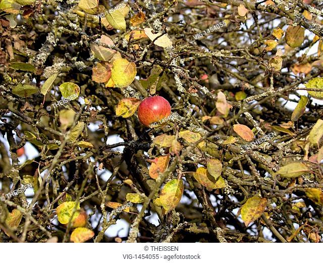 the last apple at the appletree in autumn near Weißenohe, Bavaria, Upper Franconia, Germany - Weißenohe, Upper Franconia, Germany, 09/11/2008