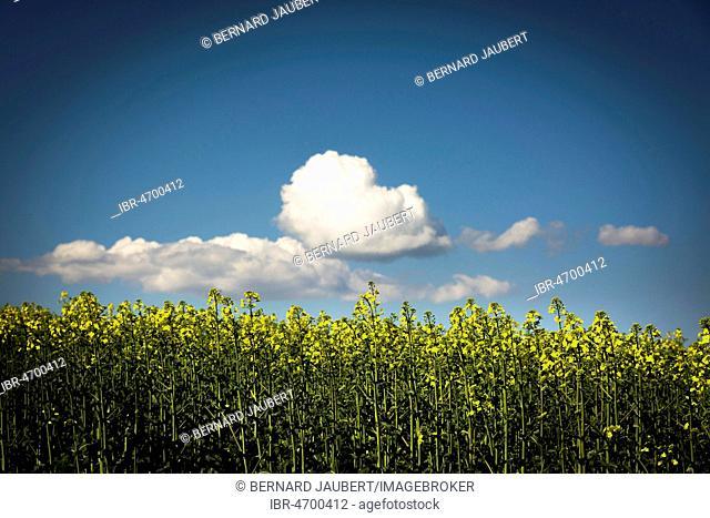 Canola blossom with with white clouds and blue sky, rape field, Limagne plain, Puy de Dome department, Auvergne-Rhône-Alpes, France