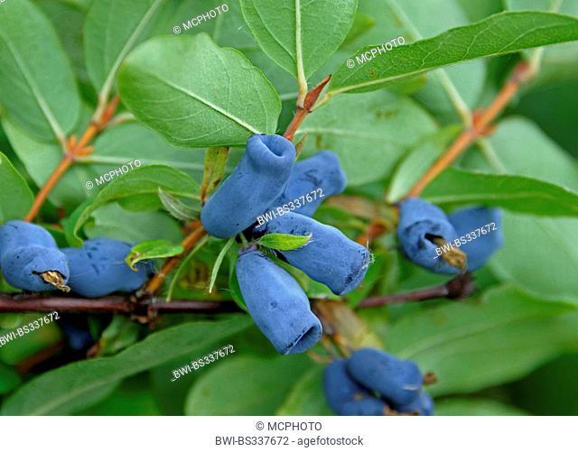 Blue-berried honeysuckle, Bluefly honeysuckle, Sweetberry honeysuckle (Lonicera caerulea 'Amur', Lonicera caerulea Amur), vultivar Amur