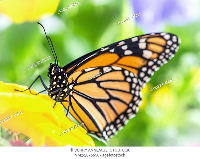 Side view of a monarch butterfly on a yellow flower. New Zealand