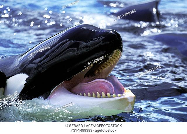 Killer Whale, orcinus orca, Adult with open Mouth