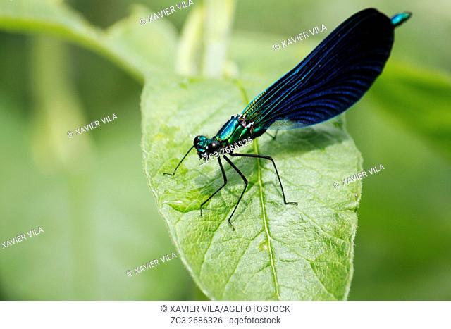 Dragonfly, Calopteryx Virgo, Nature, Chartreuse, Isere, Auvergne Rhone Alpes, France, Europe