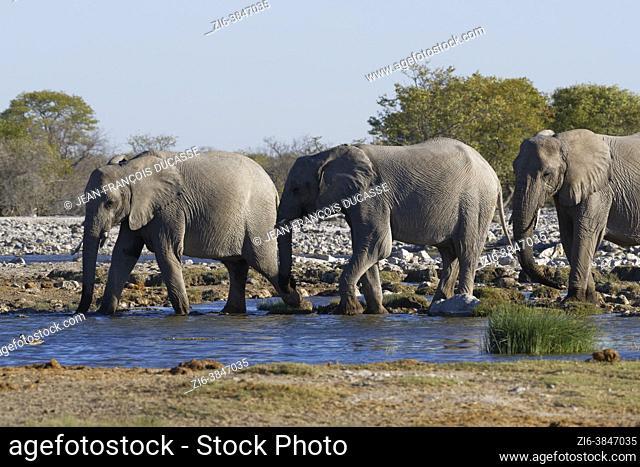 African bush elephants (Loxodonta africana), walking male and female elephants drinking at a waterhole, Etosha National Park, Namibia, Africa