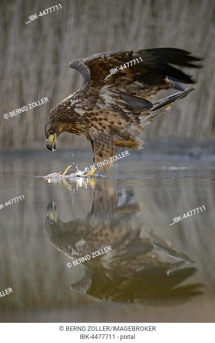 White-tailed eagle (Haliaeetus albicilla) with captured fish in shallow water, reflection, Kiskunság National Park, Hungary