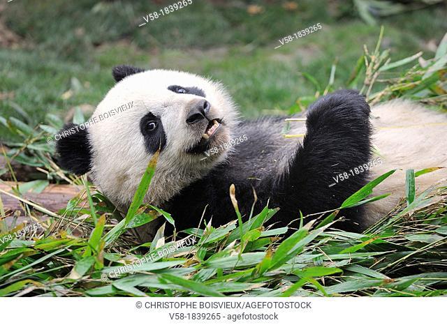 China, Sichuan, Chengdu, Bifengxia Panda Base Chengdu Research Base of Giant Panda Breeding, Giant panda eating bamboo