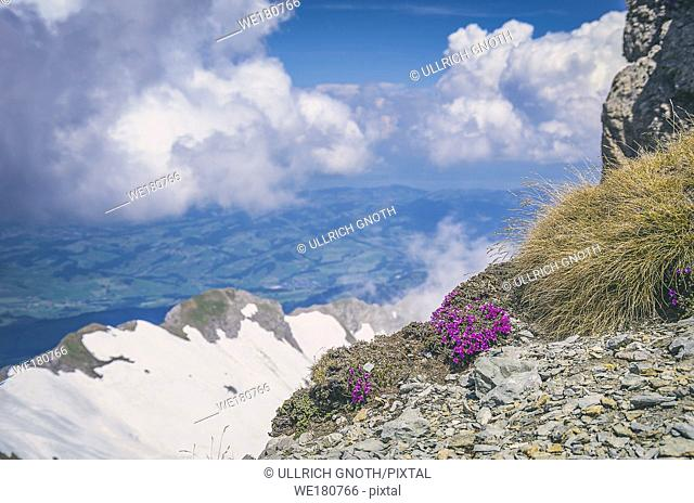 Purple mountain saxifrage, Saxifraga oppositifolia on the peak of Säntis Mountain, Appenzell Alps, Switzerland. Gegenblättriger Steinbrech