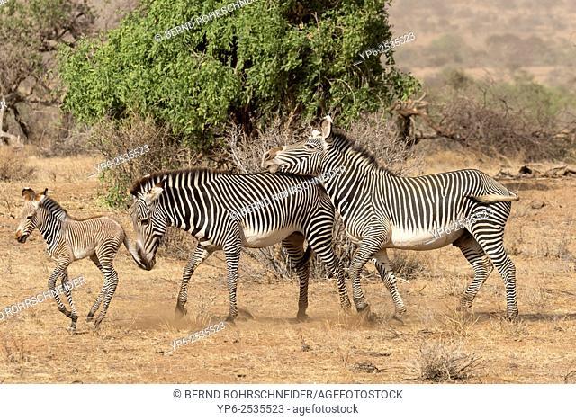 Grévy's zebra (Equus grevyi), male showing dominance behaviour against female, Samburu National Reserve, Kenya